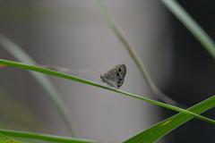 里山の蝶CCXLV!