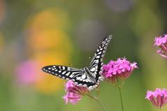 花と蝶DLXXXVII!