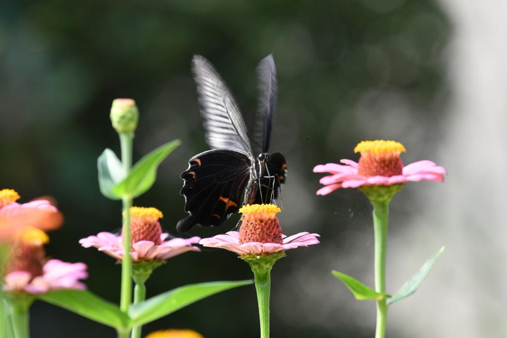 花と蝶MDXCVI!
