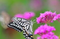 花と蝶DLXXXIV!