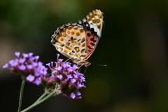 花と蝶DCCCVIII!