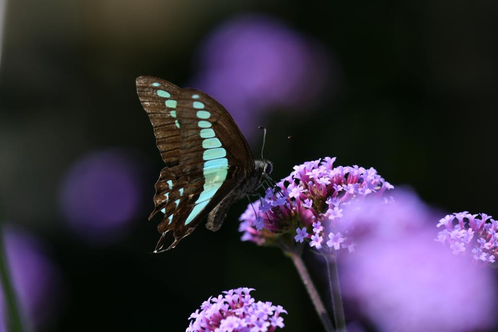 花と蝶MCXXIV!