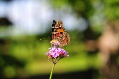 花と蝶CMXXVII!
