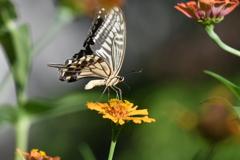 花と蝶MDCCII!