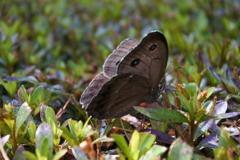 里山の蝶CIX!