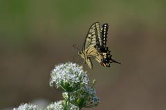 花と蝶MDCXCVIII!