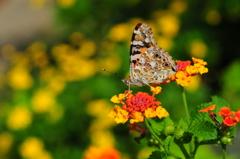 花と蝶CMXXXVII!