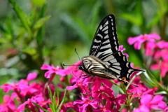 花と蝶DXXVI!