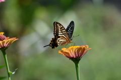 花と蝶MDCXIII!