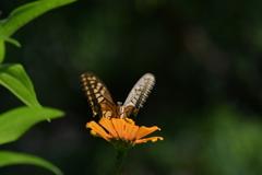 花と蝶MDCCLIX!