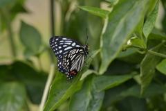 里山の蝶CCLXXX!