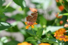 花と蝶MDCCXLIX!