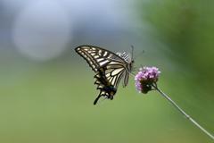 花と蝶MCCXLII!