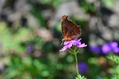 花と蝶MDCCLII!