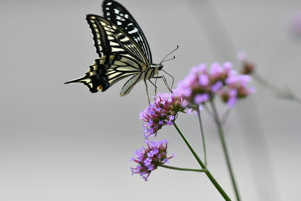 花と蝶MCCLXXXVIII!