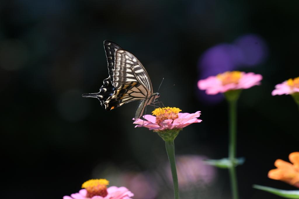 花と蝶MDL!