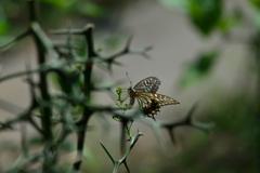 里山の蝶CCXXXIX!