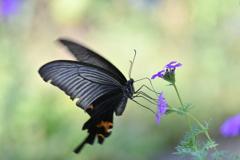 花と蝶MDCC!