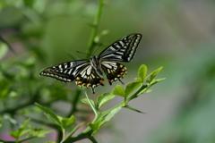 里山の蝶CCXV!