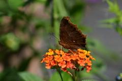 花と蝶CMXLV!