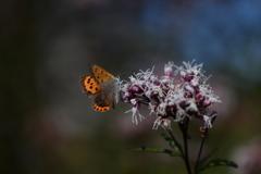 花と蝶CDLVIII!