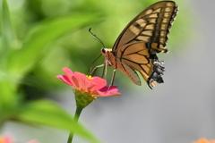 花と蝶MDCCLVIII!