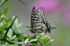 花と蝶DLXXXVI!