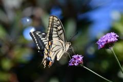 花と蝶CMXLVII!