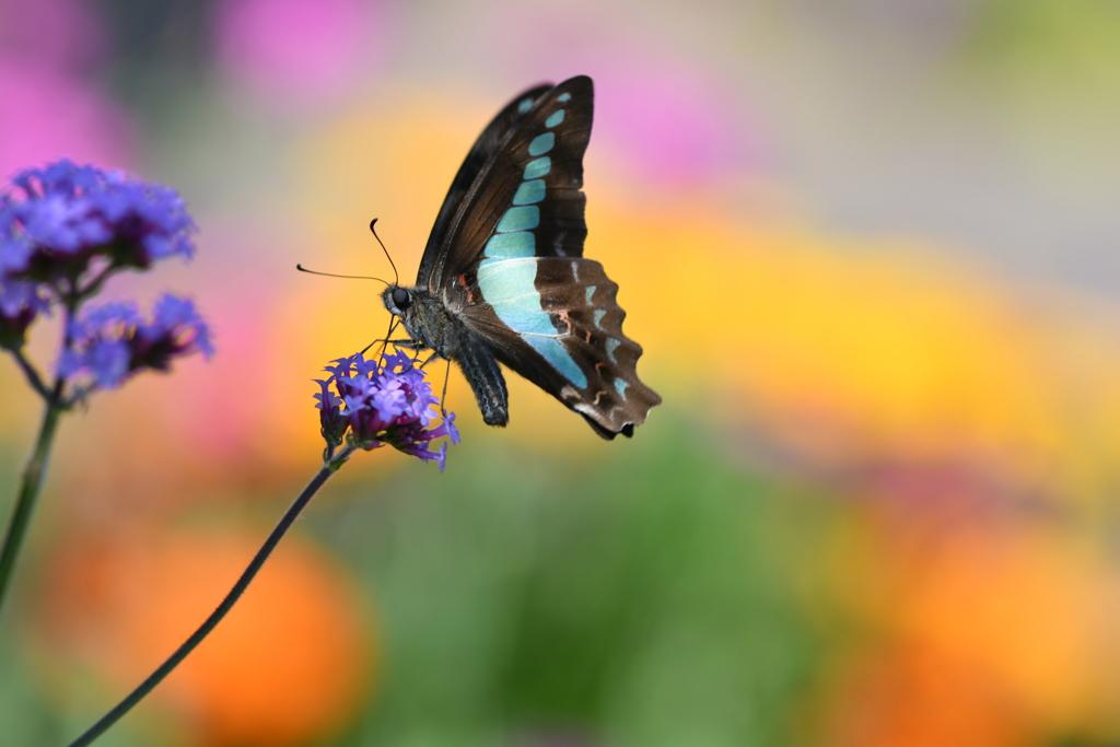 花と蝶DLXXV!