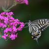 花と蝶MCMXXXIV!