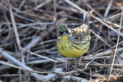里山の野鳥KXXVIII!
