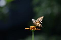 花と蝶MDCCXXXV!