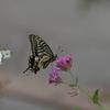 花と蝶MCMXXVI!