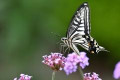 花と蝶MCCXLVI!