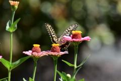 花と蝶MDCIX!