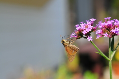花と蝶CMXL!