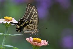 花と蝶MMCCL!
