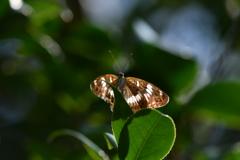 里山の蝶CCXLIII!