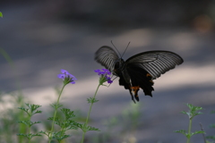 花と蝶MDCCIII!