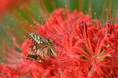 花と蝶CMLI!