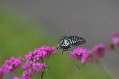 花と蝶MDCCCLXVIII!