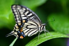 里山の蝶CCLXIX!