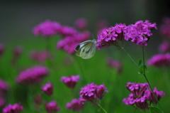花と蝶MDCCCLXVI!