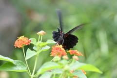 花と蝶MDCCLXXXVI!
