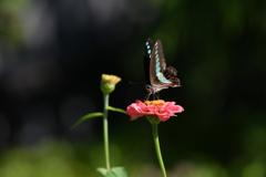 花と蝶MDCCLIII!