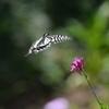 花と蝶MDCCCLVII!
