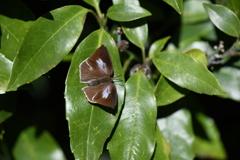 里山の蝶CXL!