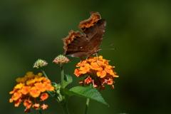 花と蝶MDCCXXXIV!