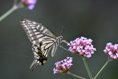 花と蝶MCCXLIV!