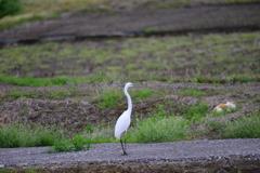 身近にいる野鳥CCCVIII!